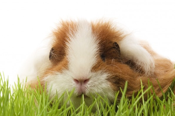 Scurvy Critters: How to Combat Vitamin C Deficiency in Guinea Pigs