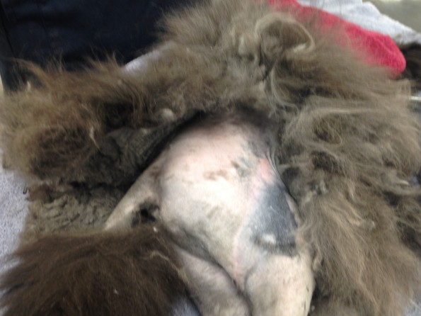 Matted Fur1