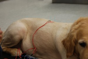 If you have any questions about acupuncture please contact our Vancouver Animal Hospital.