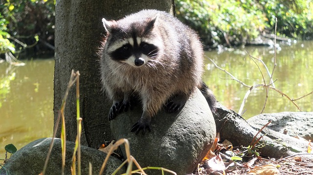 One possible carrier of Leptospirosis, the Raccoon. A common critter in the lower mainland.