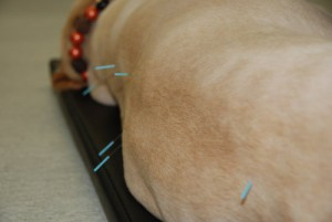 Our Animal Hospital in Vancouver now offers professional acupuncture for animals.
