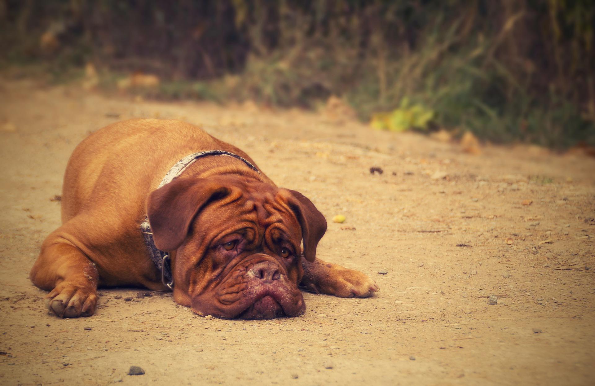 Dog Flu: How Worried Should You Be?