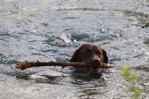 swimming dog stick